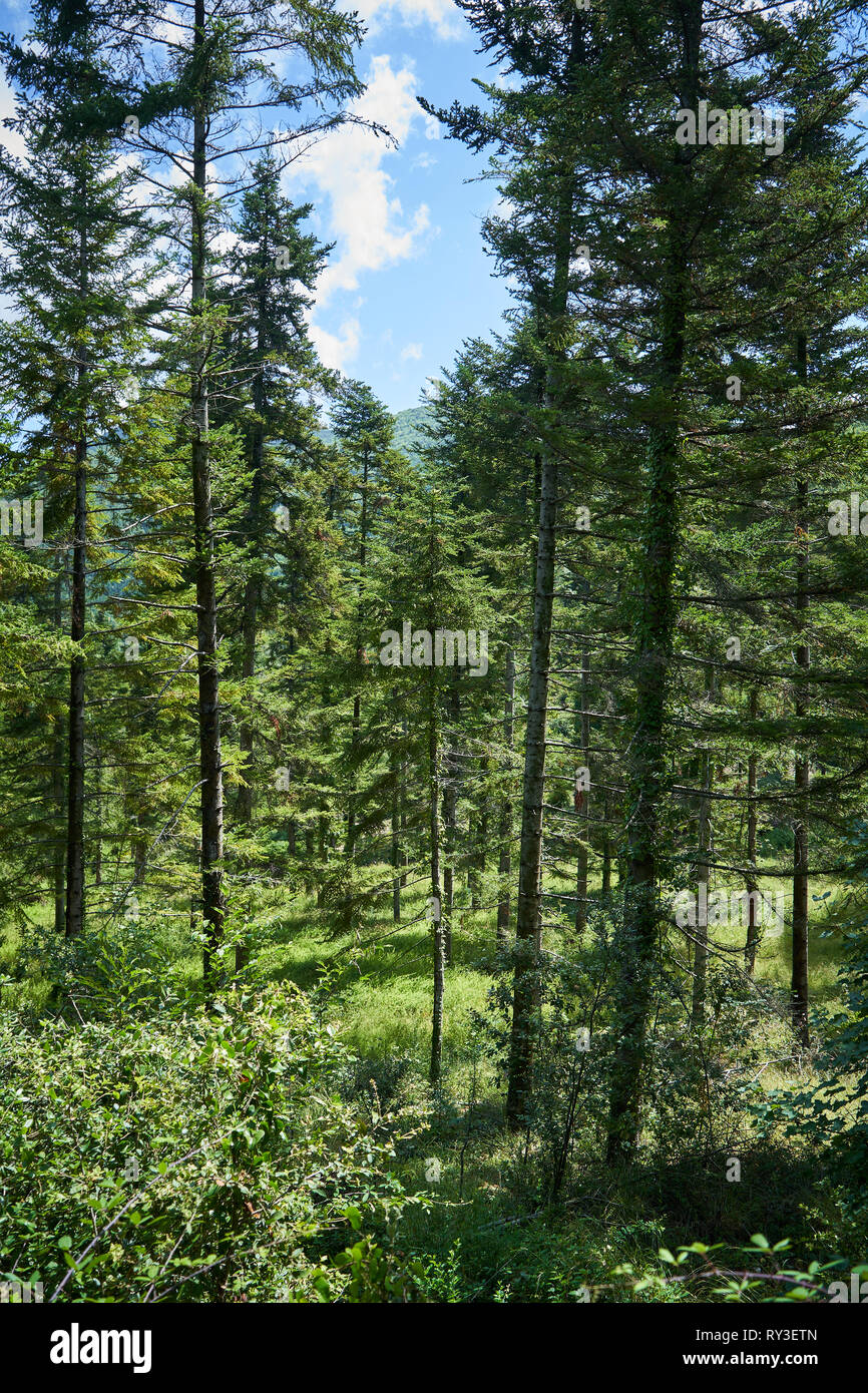 A Mediterranean shrubland forest during summer in central Italy. Portrait format. - Stock Image