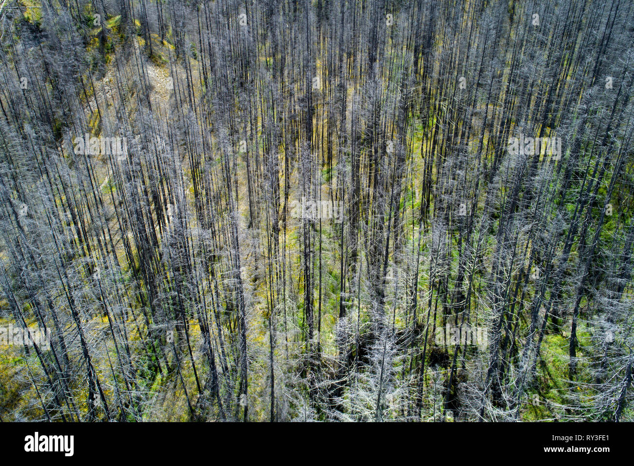 Dead trees, Skippers Canyon, Queenstown, South Island, New Zealand - aerial - Stock Image