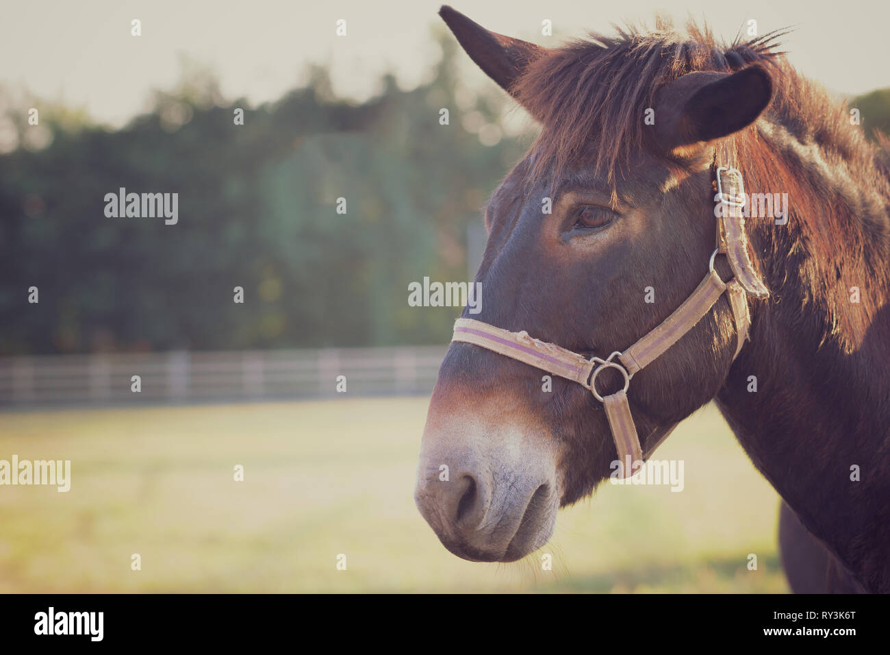 Closeup of mule face in the farm and sunshine in the evening. Concept of livestock. Copy space for text. Stock Photo