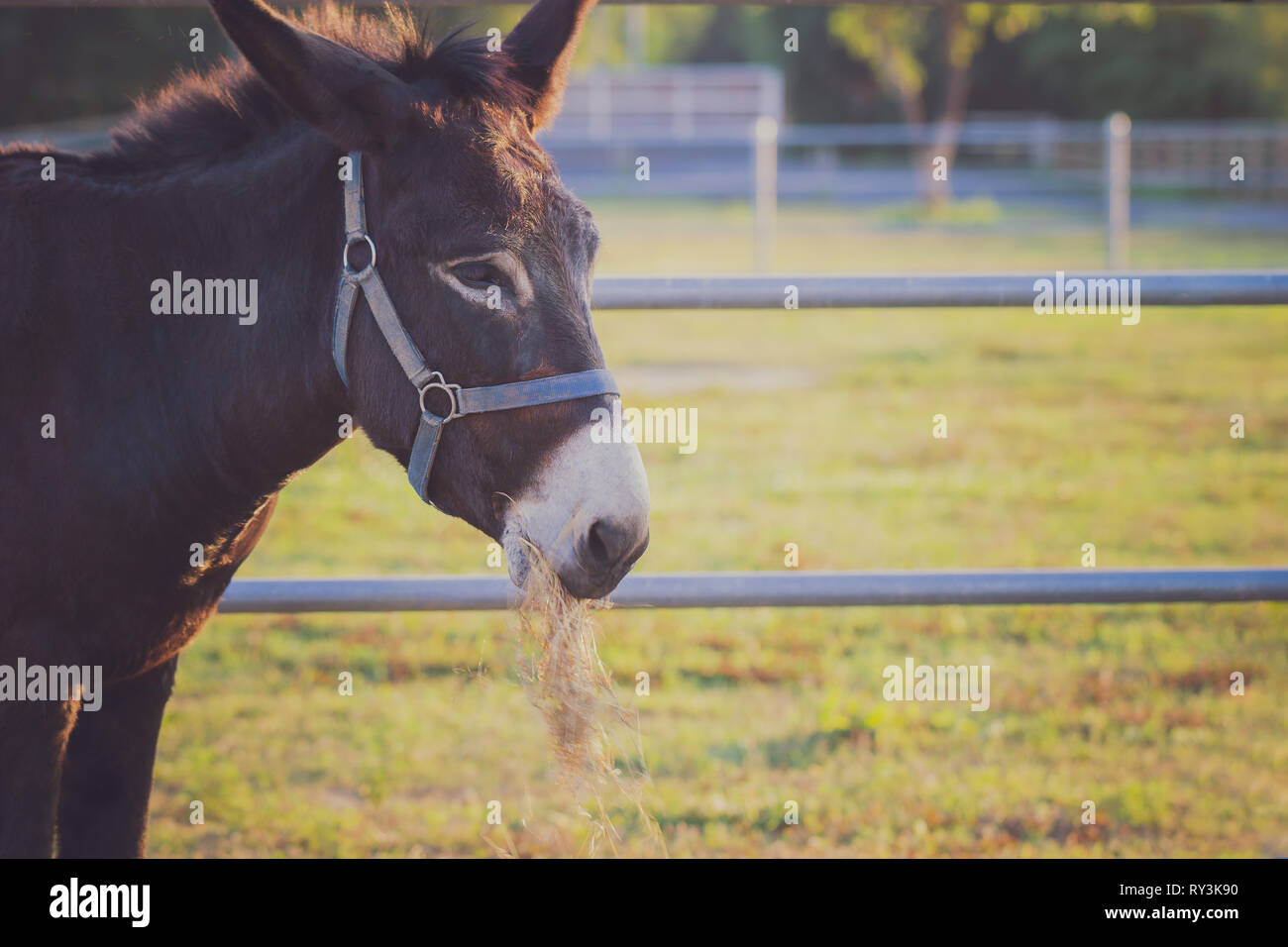 Closeup mule chewing grass in the farm and sunshine in the evening. Concept of livestock. Copy space for text. Stock Photo