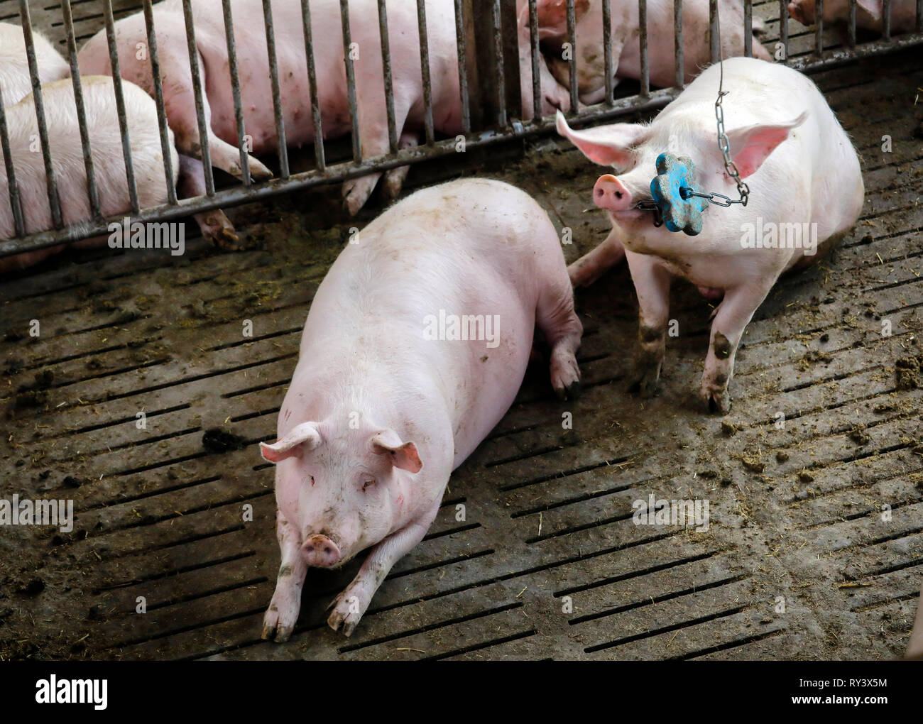 Ense, North Rhine-Westphalia, Germany - Modern fattening stable, the modern pigsty provides for more animal welfare among other things by more place o Stock Photo