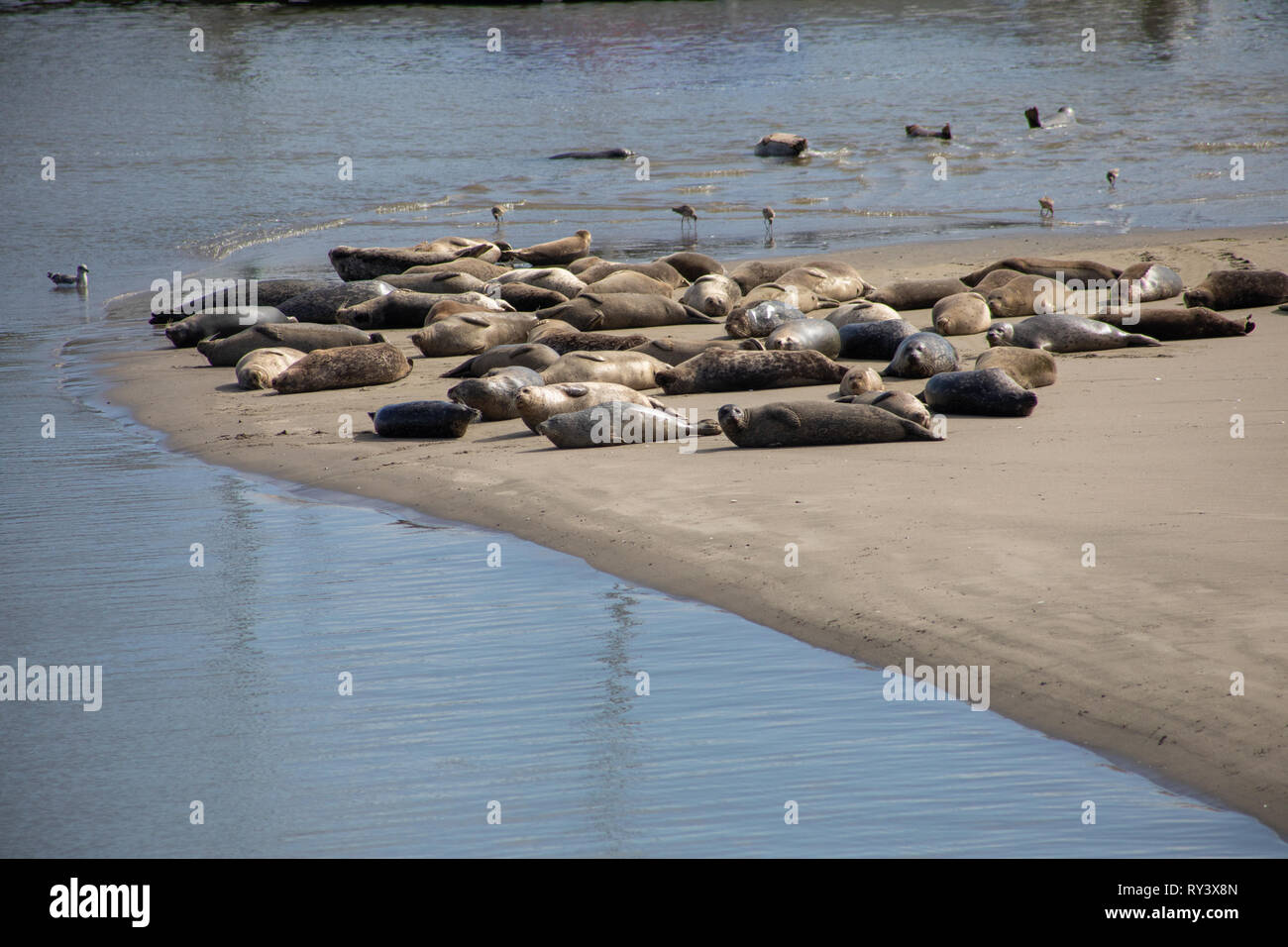 Seals lounging on the beach in monterey, california - Stock Image