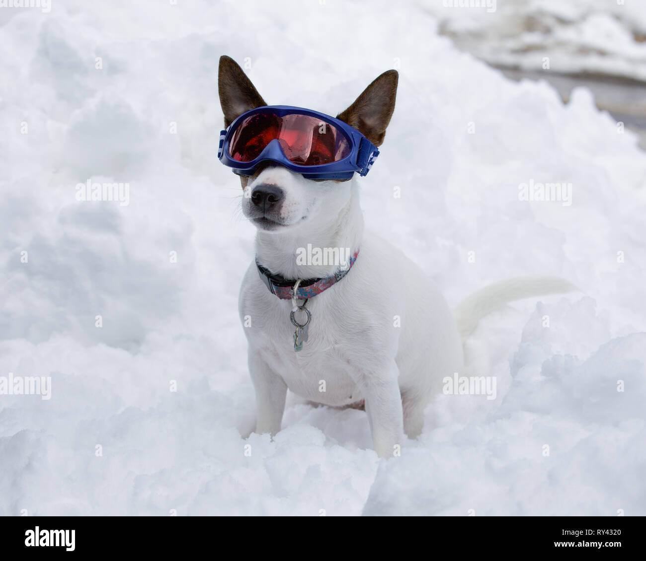 Small mostly white Jack Russell Terrier dog sitting in snow while wearing blue ski goggles on a cold winter day - Stock Image