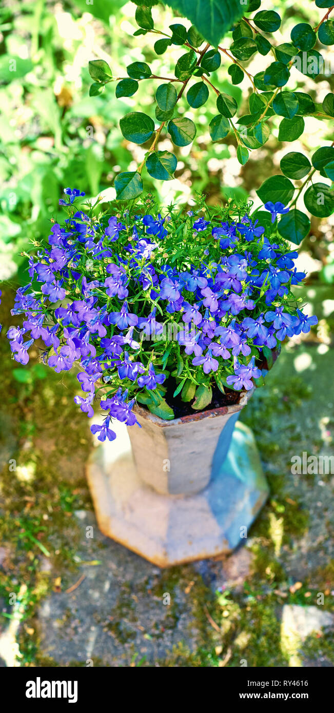 Lobelia Erinus Pot Stock Photos Lobelia Erinus Pot Stock Images