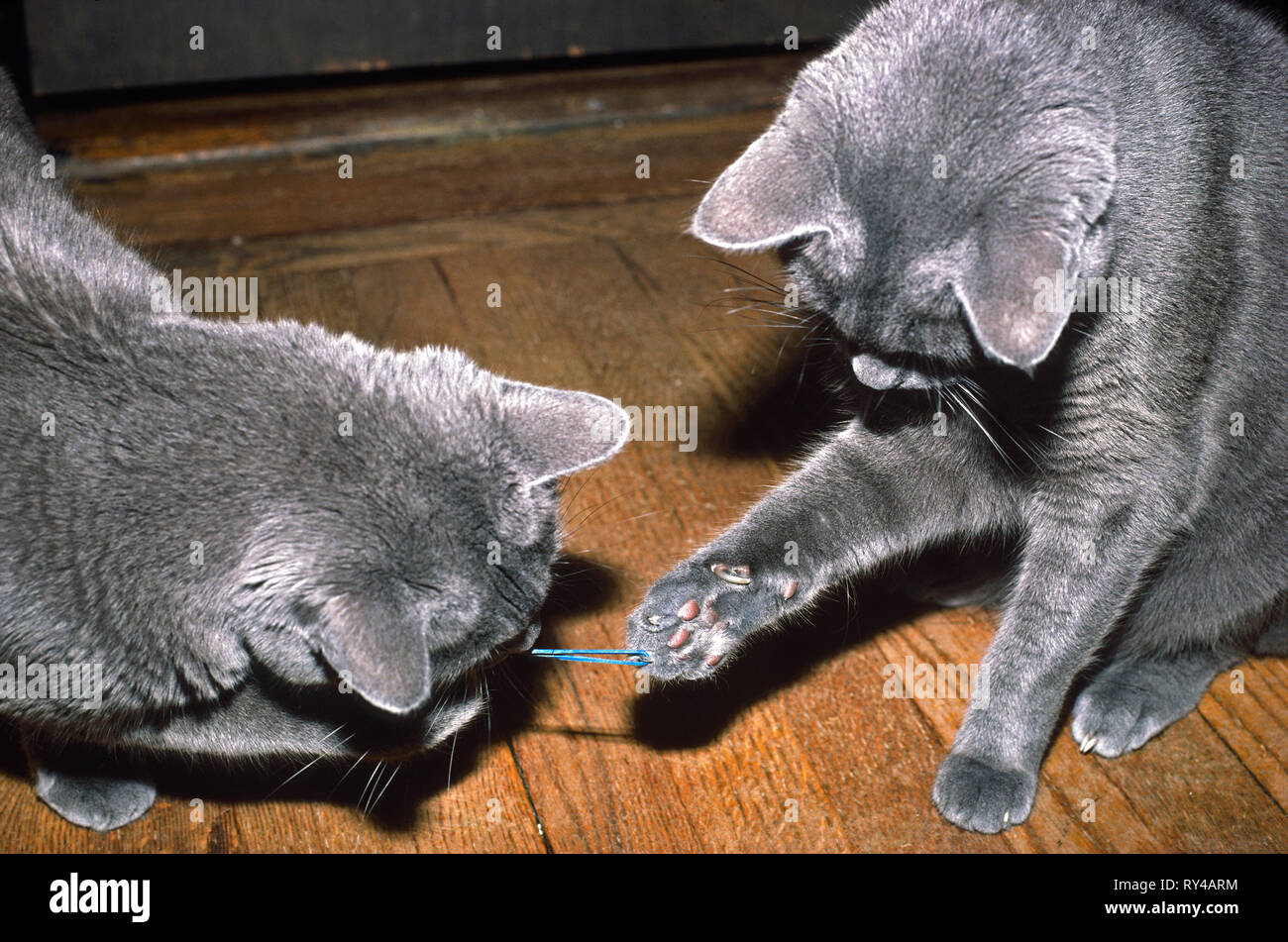 2 grey cats, playing with rubber band; paws holding; pets; fun, active, movement, felines, pets, horizontal; PR - Stock Image