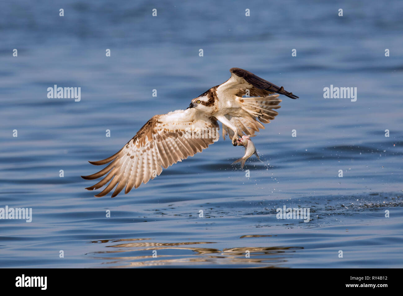 Western osprey (Pandion haliaetus) catching fish from lake with its talons - Stock Image