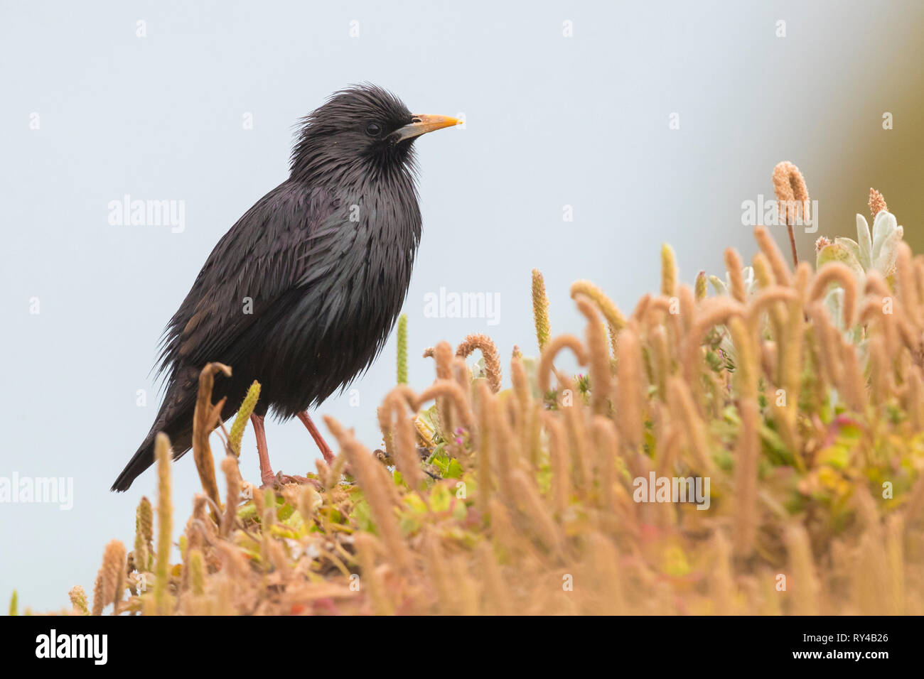 Spotless Starling (Sturnus unicolor), adult standing on the ground - Stock Image
