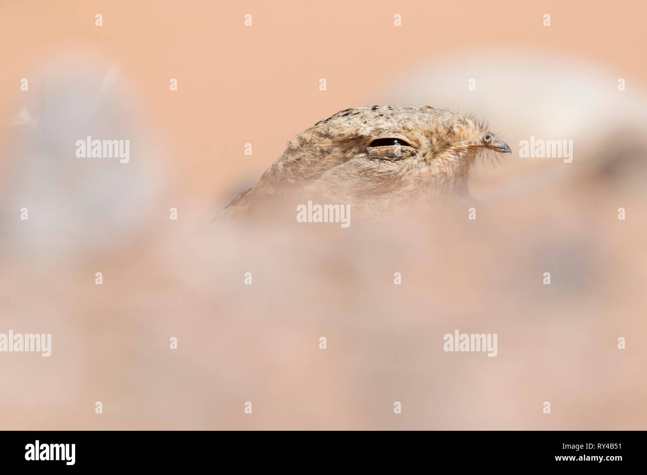 Egyptian Nightjar (Caprimulgus aegyptius saharae), close-up of an adult resting on the ground in Morocco - Stock Image