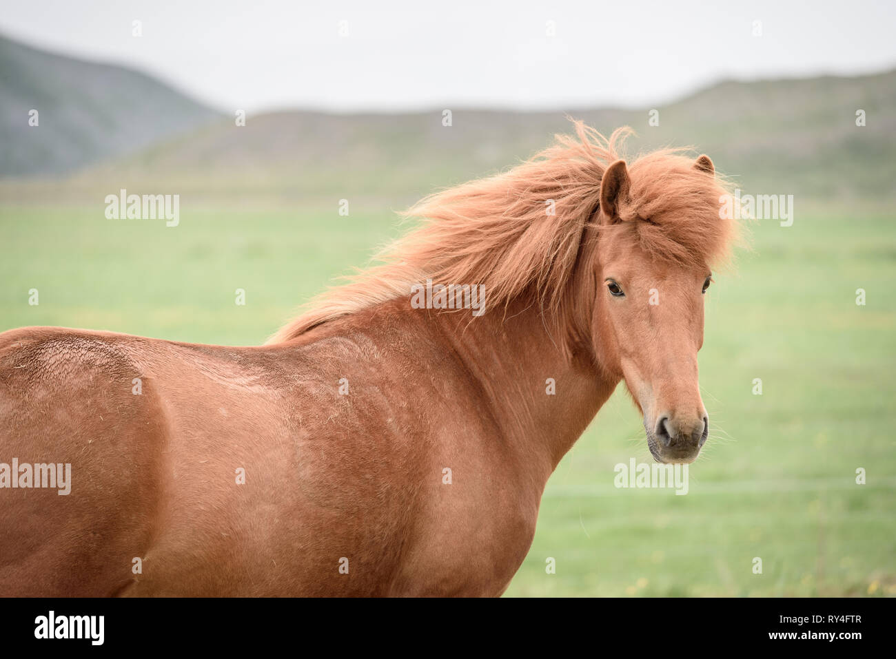 Chestnut horse with beautiful hairdo. Pasture in Iceland - Stock Image