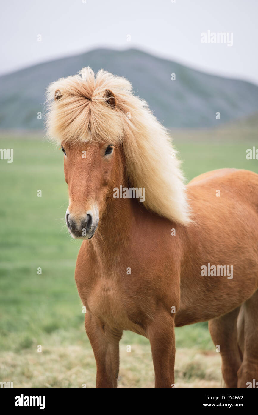 Red Icelandic horse with a beautiful mane - Stock Image