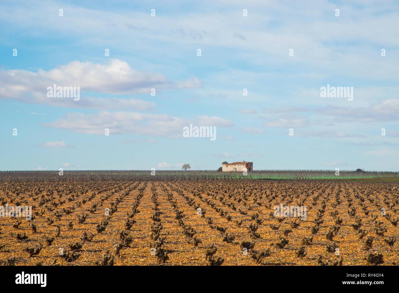 Vineyard in winter. Manjavacas, Cuenca province, Spain. - Stock Image