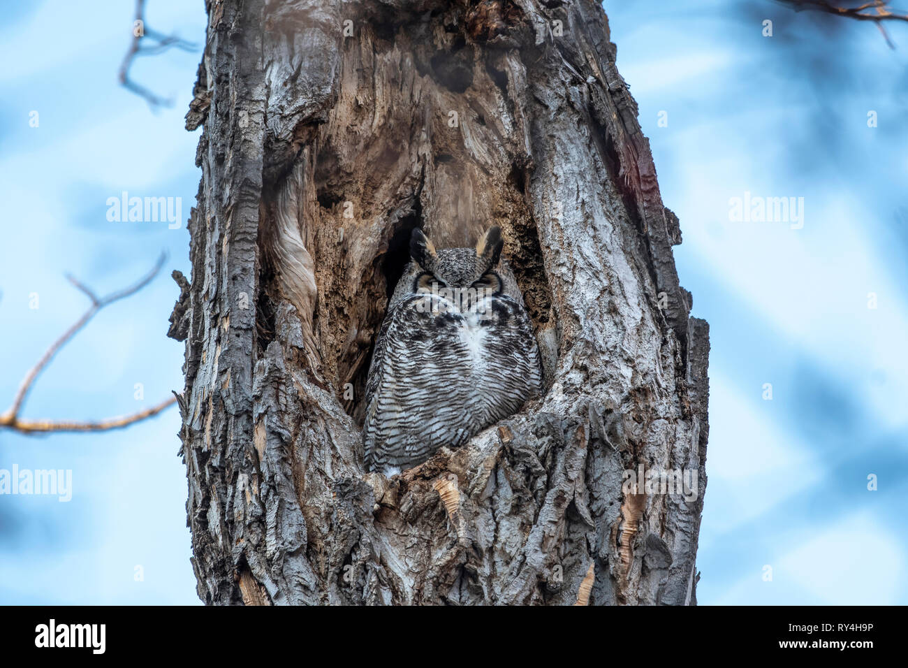 Great Horned Owl in a tree hole Stock Photo