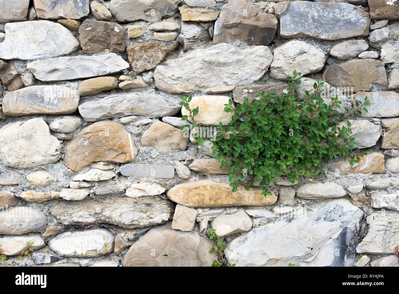 Particular view of a plant born in ancient stone wall, in the village of Borgo Cervo in Liguria Italy. Useful as a forceful background of nature - Stock Image