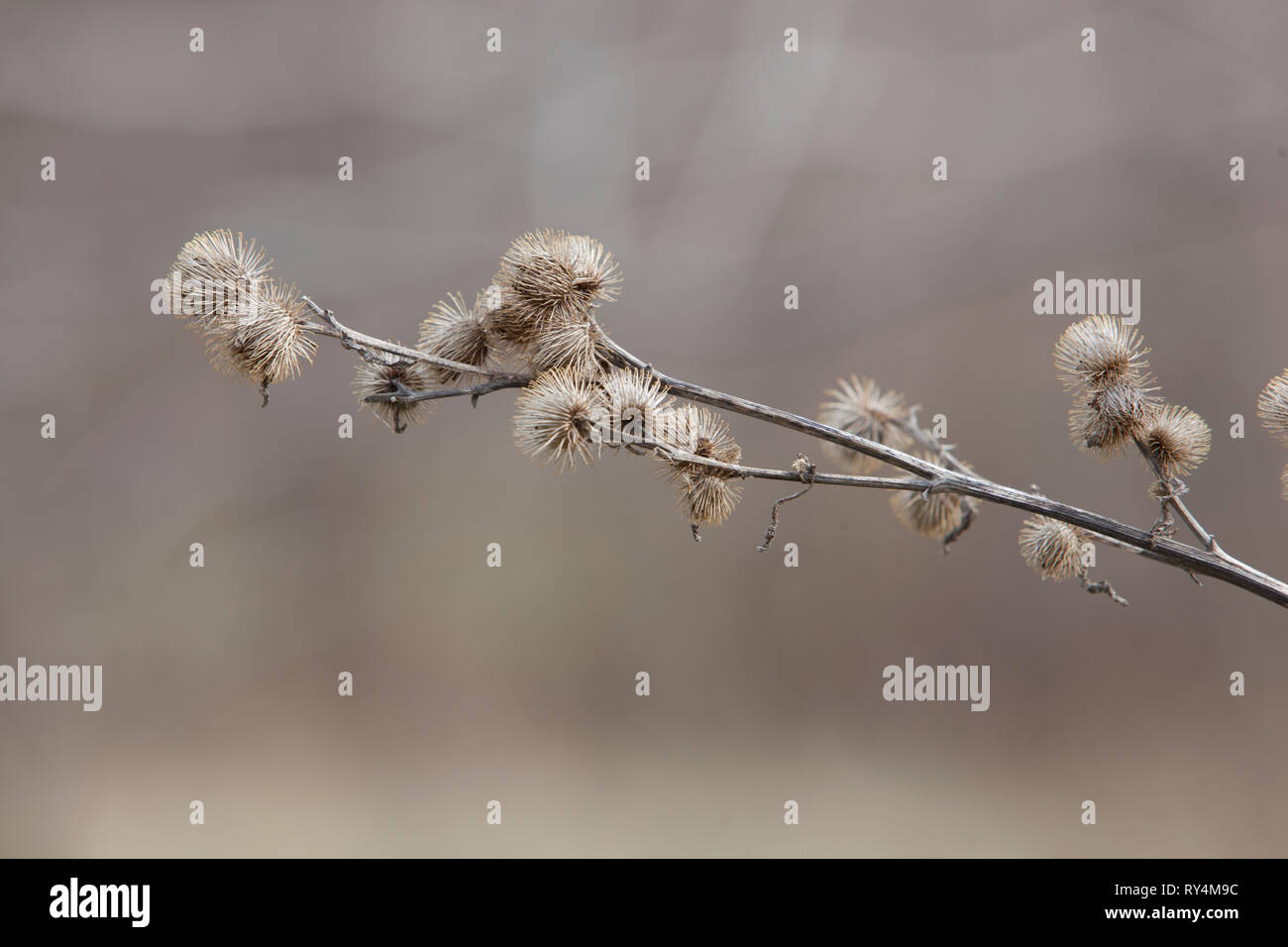 Flora Weeds Burdock Root Spring New Growth isolated on a blurred background - Stock Image