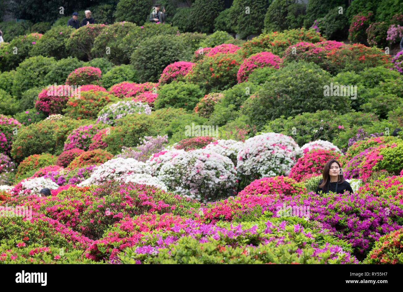 Japan, Honshu island, Kanto, Tokyo, azalea festival at Nezu jinja shrine Stock Photo