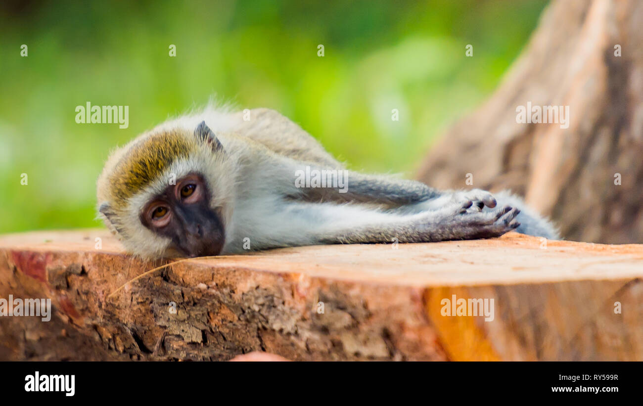 Monkey Resting on a Bench - Stock Image