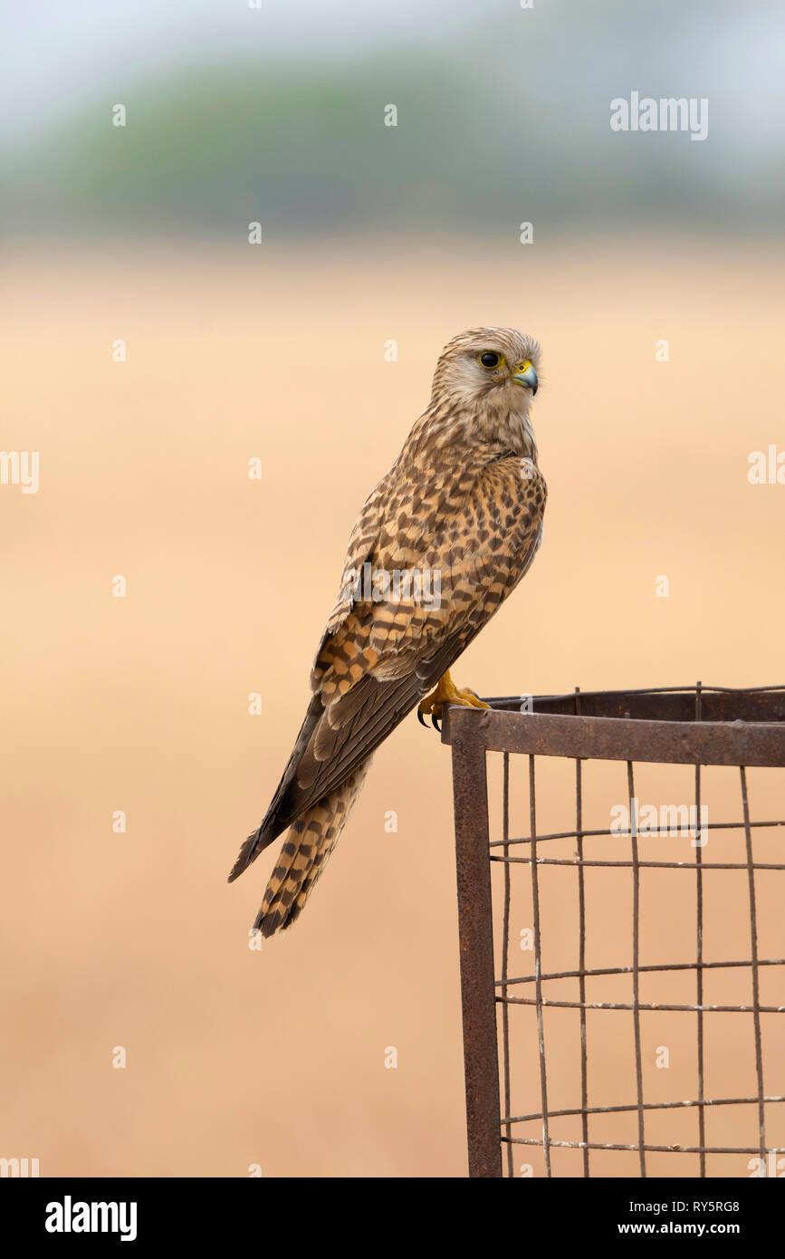 Common Kestrel, Female, Falco tinnunculus, Blackbuck National park, Velavadar, Bhavnagar, Gujarat, India - Stock Image