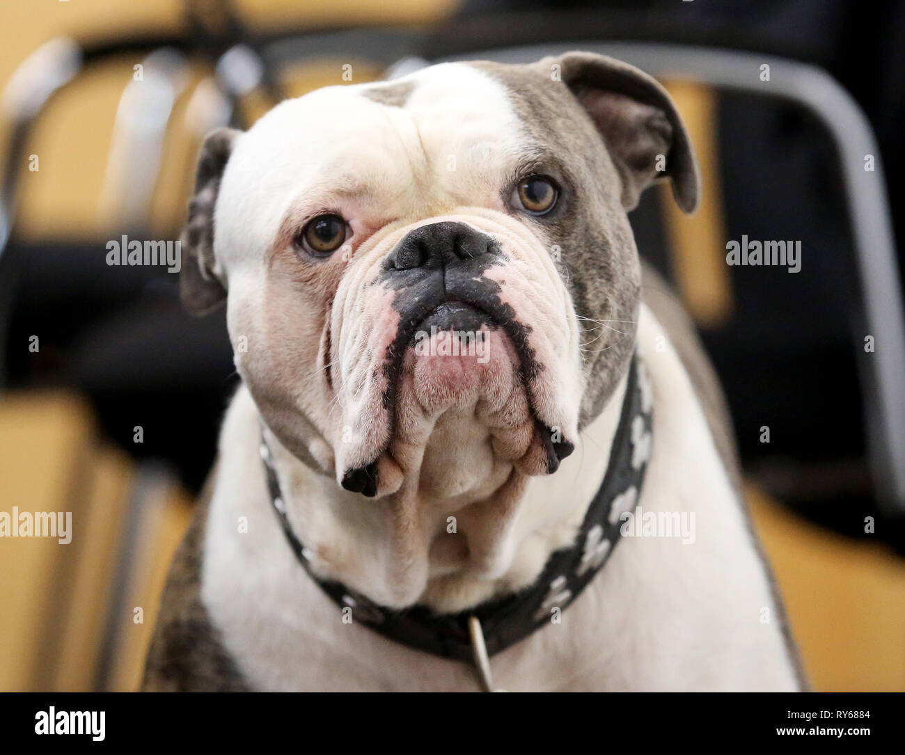 Munster, Germany. 12 March 2019, North Rhine-Westphalia, M?nster: 'Kalle' is waiting for the trial to begin in the courtroom of the Münster Higher Administrative Court. The question at issue is whether 'Kalle', which its owner acquired from breeders as 'Old English Bulldog', is a dog of a certain breed within the meaning of the National Dog Law. North Rhine-Westphalia's highest administrative court is now dealing with the dangerous nature of the Bulldog crossing. Credit: dpa picture alliance/Alamy Live News - Stock Image
