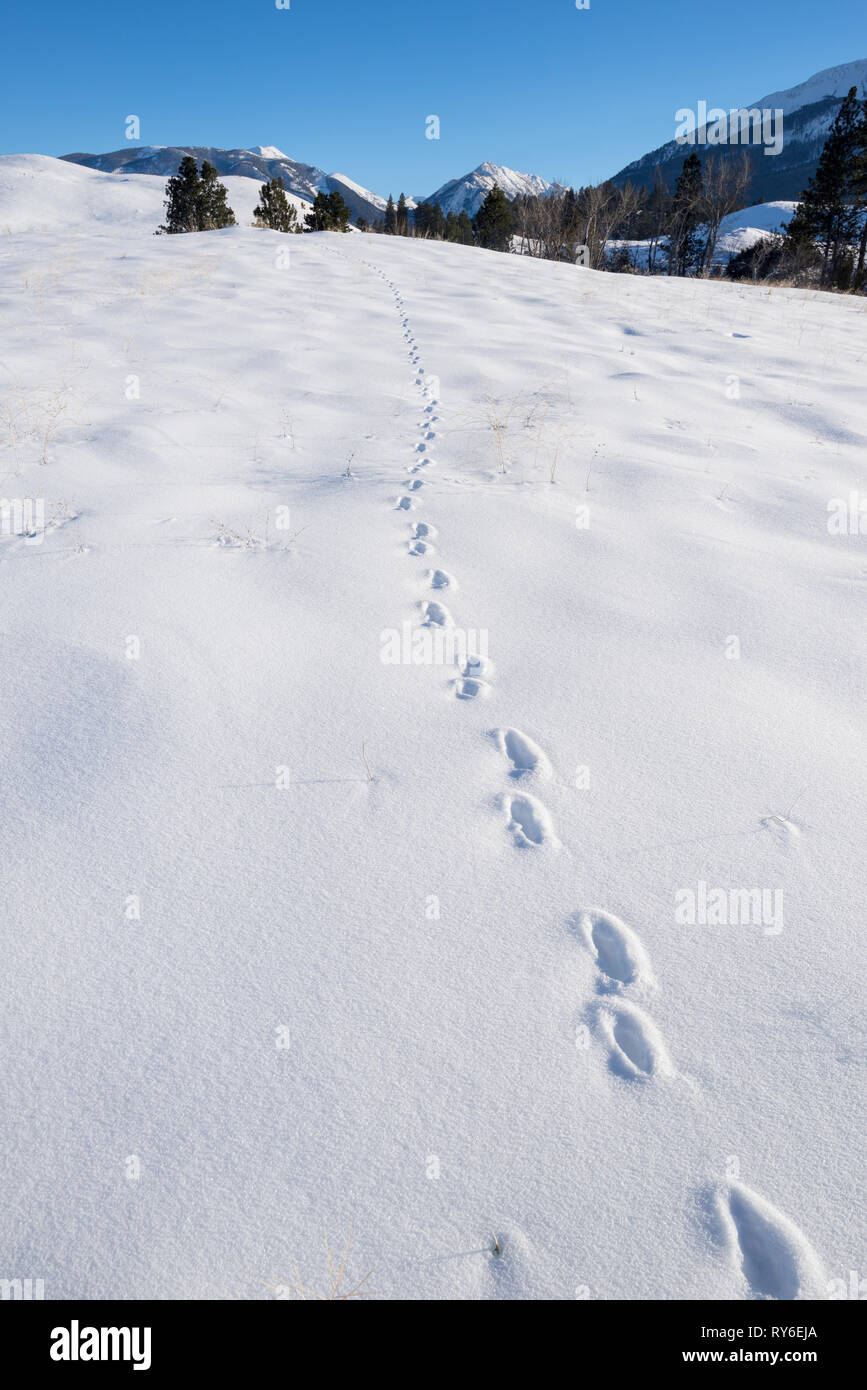 Animal tracks in snow, Iwetemlaykin State Heritage Site, Oregon. - Stock Image