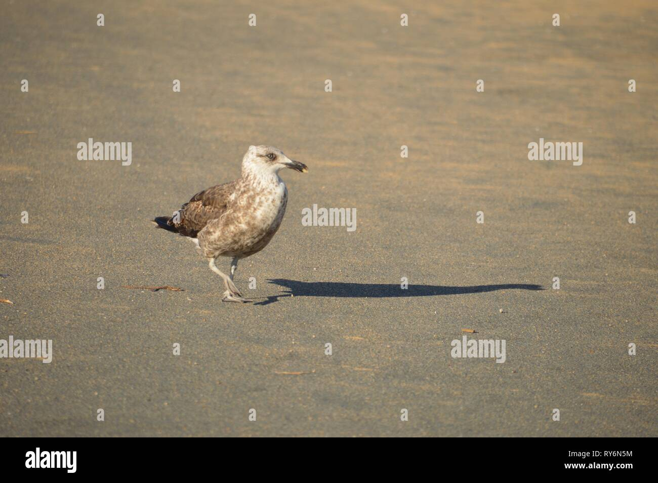 young seagull walking on the beach - Stock Image