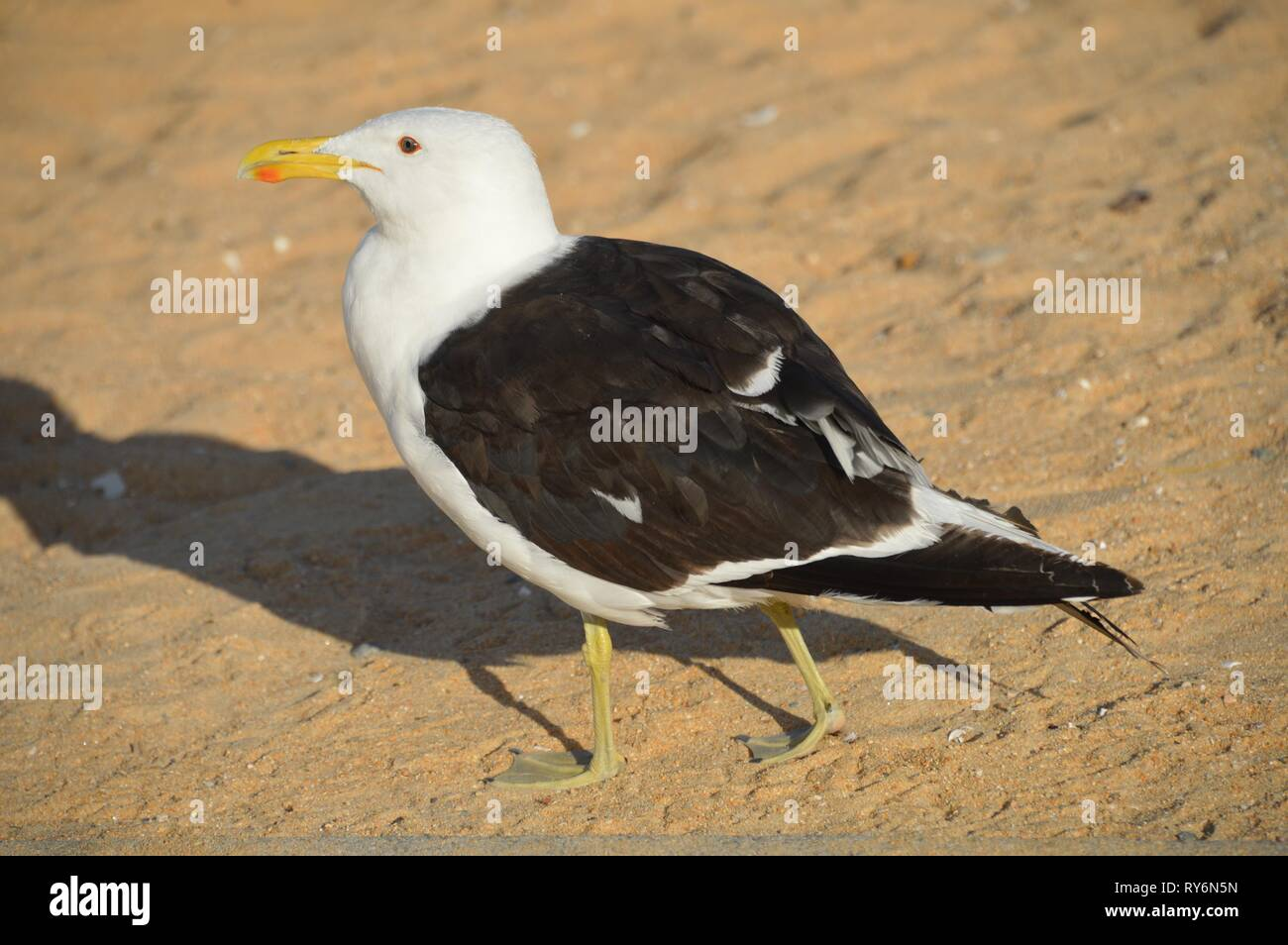seagull walking on the beach - Stock Image
