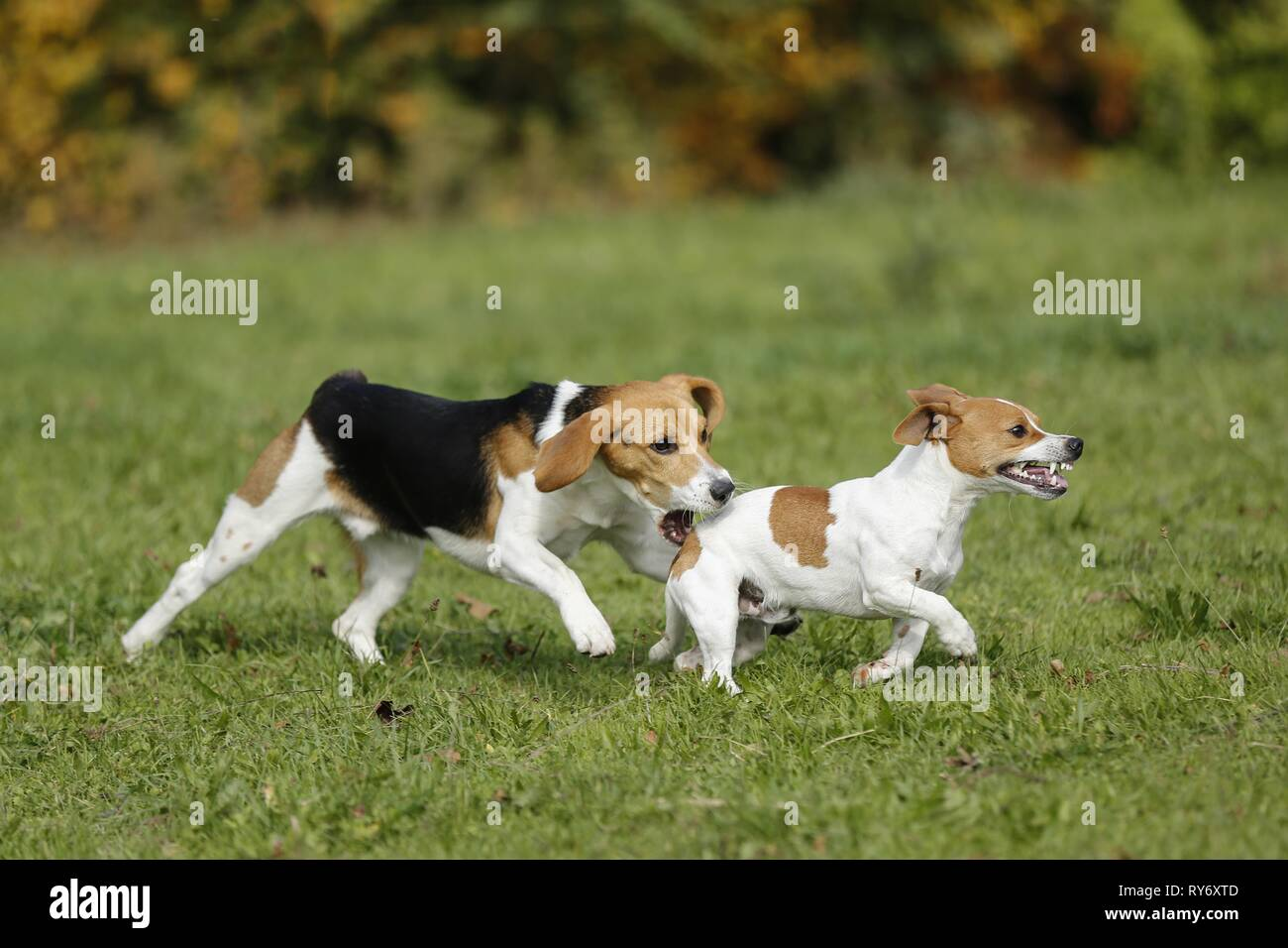 2 dogs - Stock Image