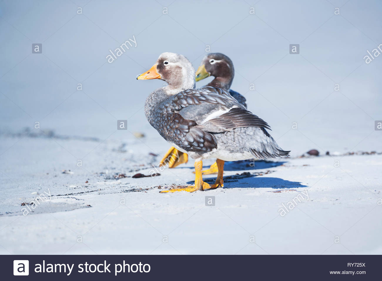 Steamer ducks (Tachyeres brachypterus), Sea Lion Island, Falkland Islands, South Atlantic, South America - Stock Image