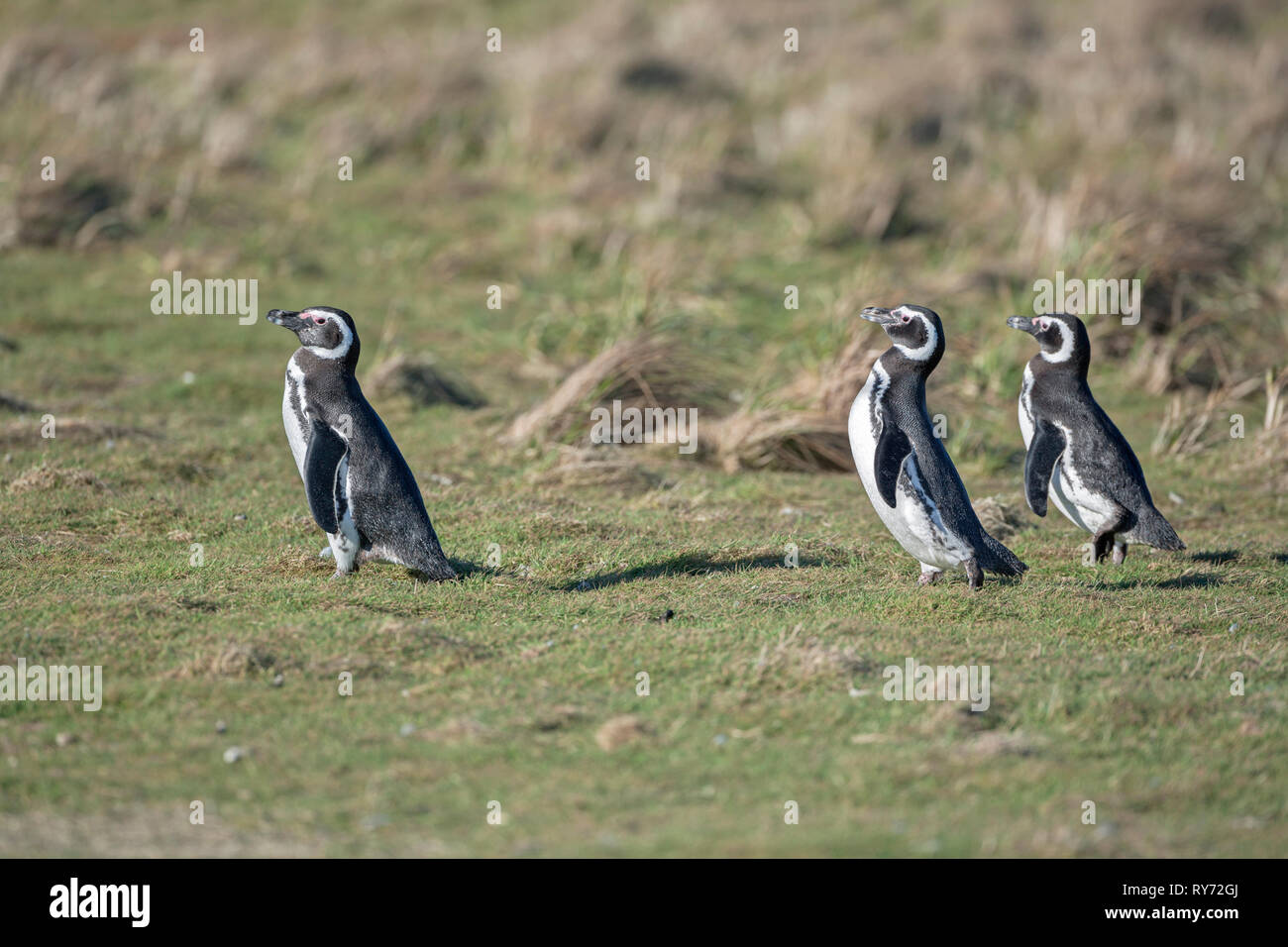 Magellanic penguins, Falkland Islands, South Atlantic, South America - Stock Image