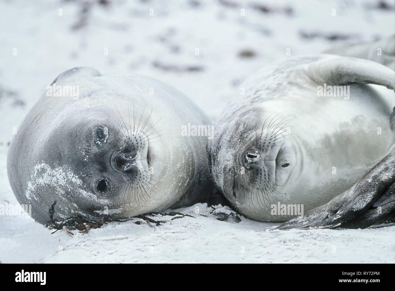 Southern Elephant Seal pups (Mirounga leonina) enjoyng the beach, Falkland Islands, South Atalantic, South America - Stock Image