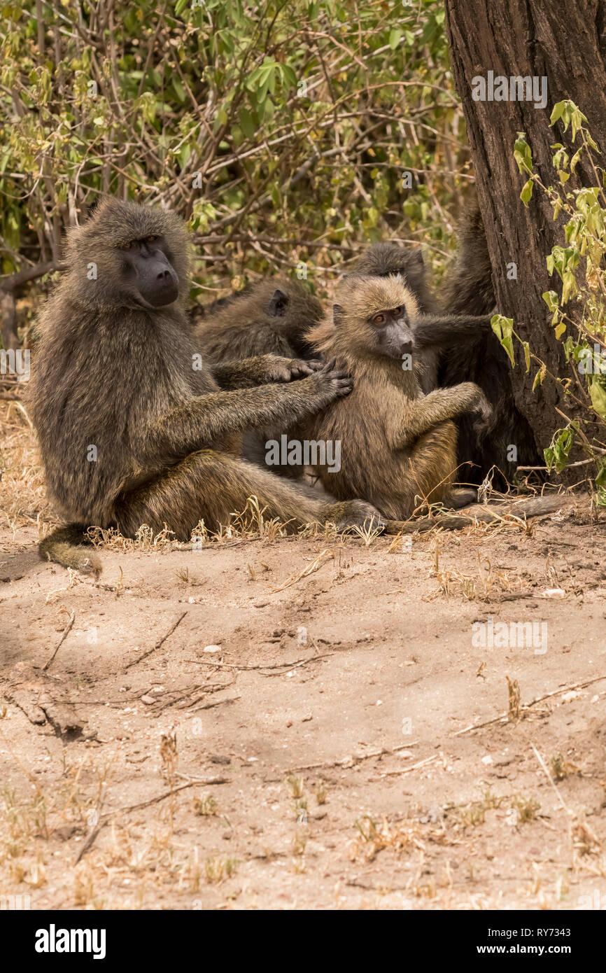 Olive Baboon (Papio cynocephalus) troop grooming in Lake Manyara National Park, Tanzania - Stock Image