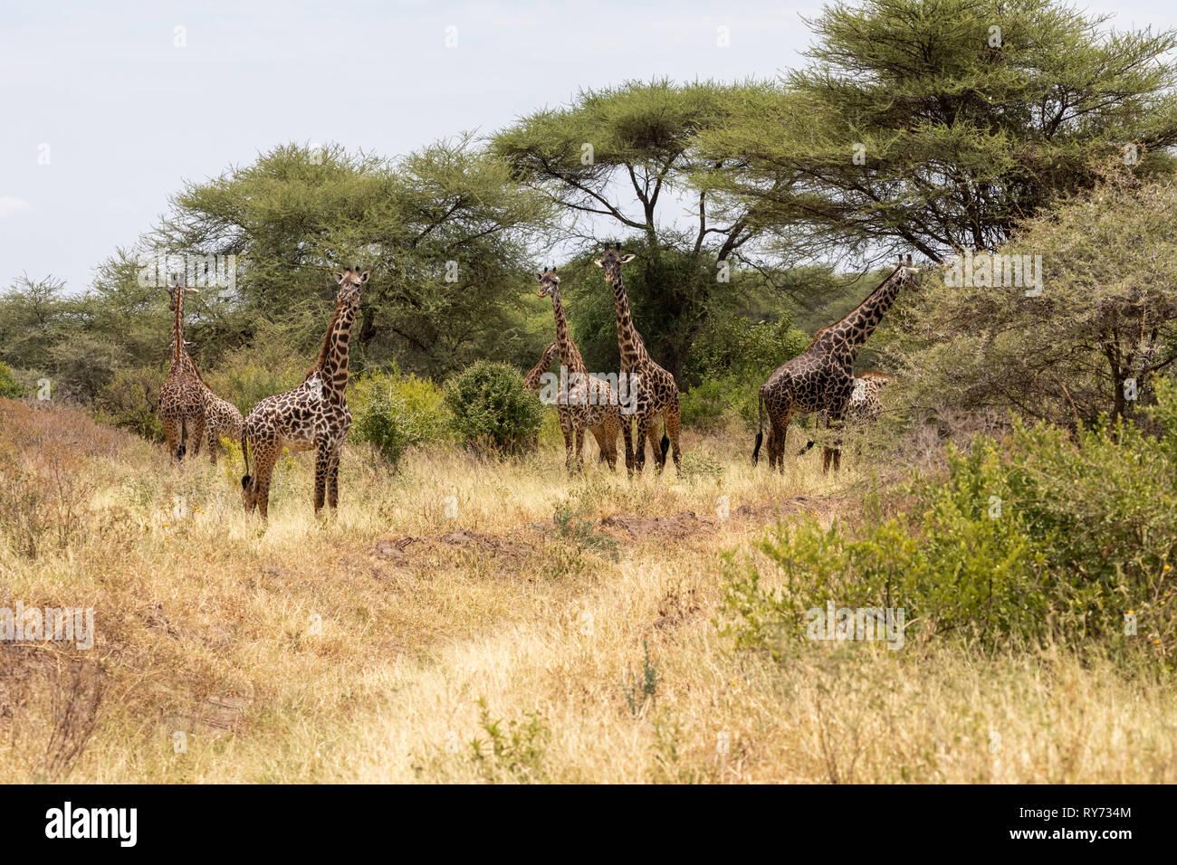 Masai Giraffe (Giraffa camelopardalis tippelskirchi) feeding in Lake Manyara National Park, Tanzania - Stock Image