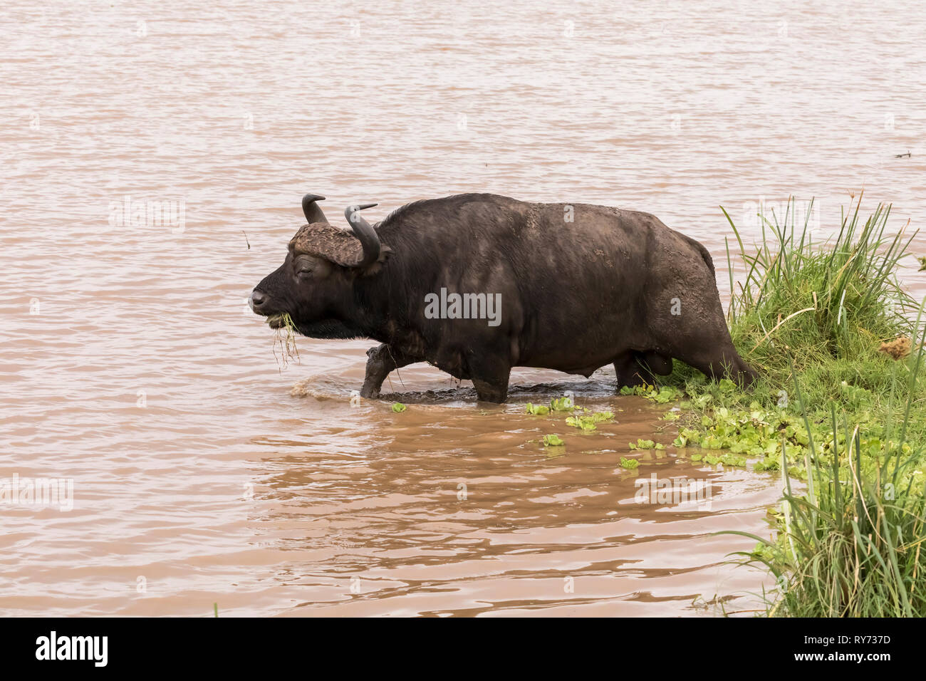 Cape Buffalo (Syncerus caffer) feeding on grass in a pond in Lake Manyara National Park, Tanzania - Stock Image