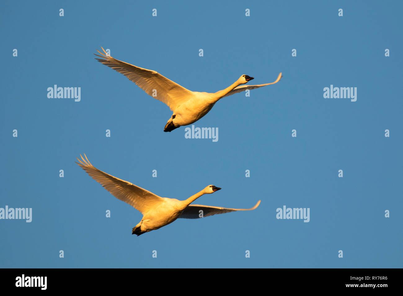 Tundra swan (Cygnus columbianus), Fir Island Farms Reserve, Skagit Wildlife Area, Washington Stock Photo