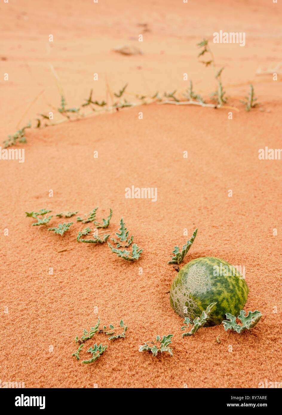 Al Handal, Bitter Apple (Citrullus colocynthis), Wadi Rum, Aqaba Governorate, Jordan - Stock Image