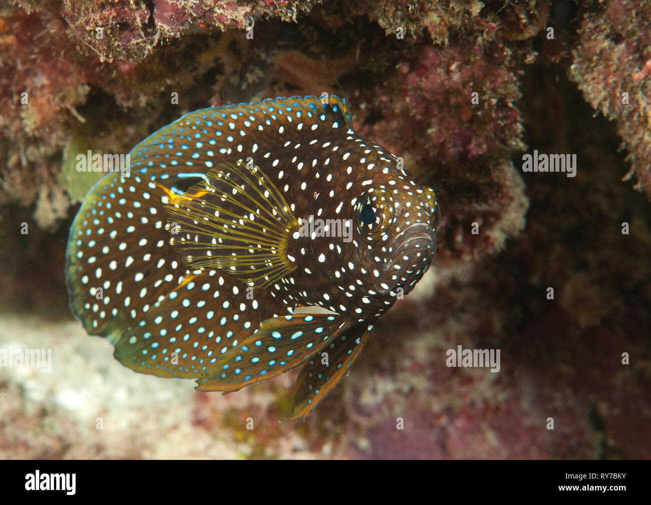 Comet or marine betta (Calloplesiops altivelis) swimming over corals of Bali, Indonesia Stock Photo