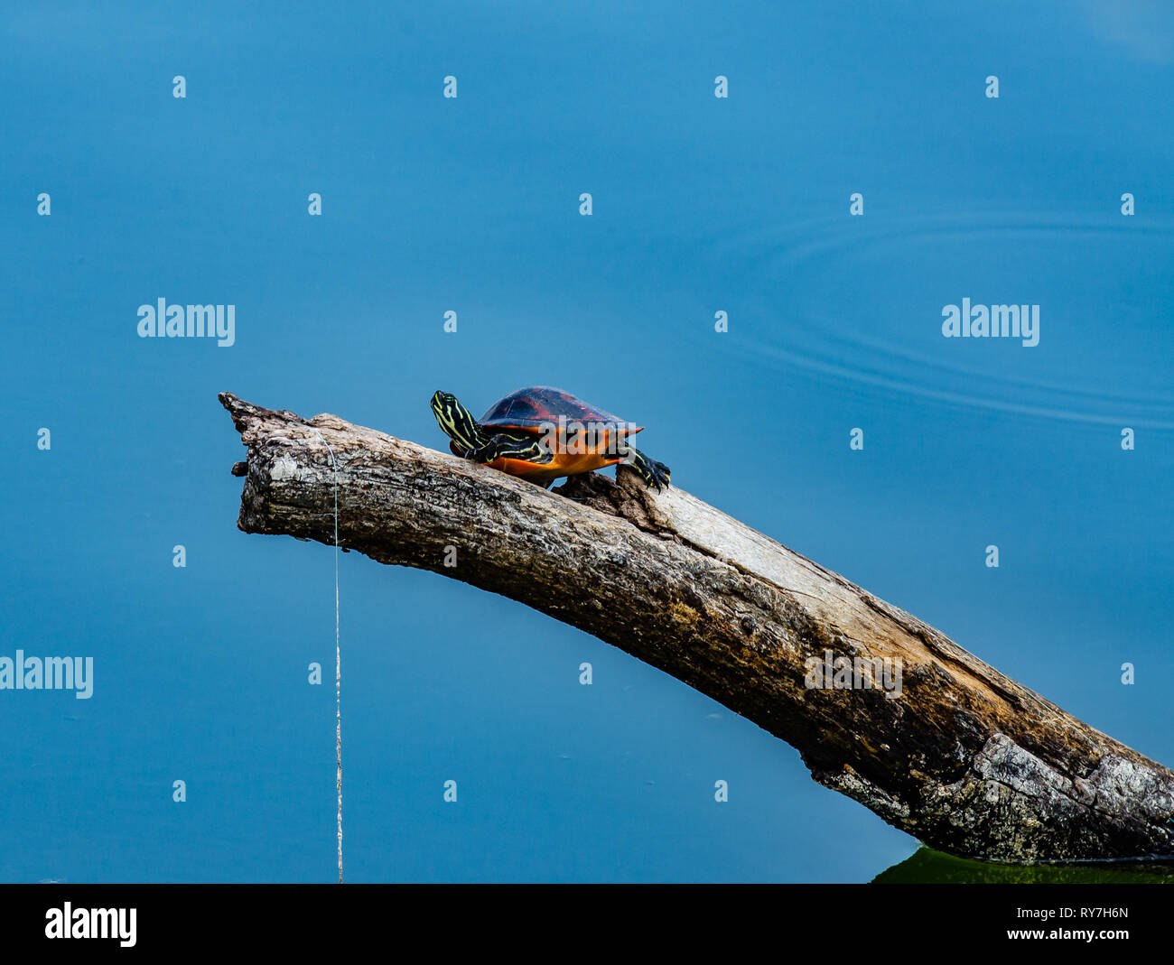 Portrait of a Florida red bellied cooter sunning on a dead tree over a wetland pond with fishing line caught on the branch. Stock Photo