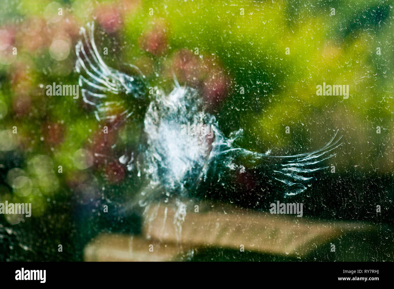 Dust left on picture window after a quail hit it. - Stock Image