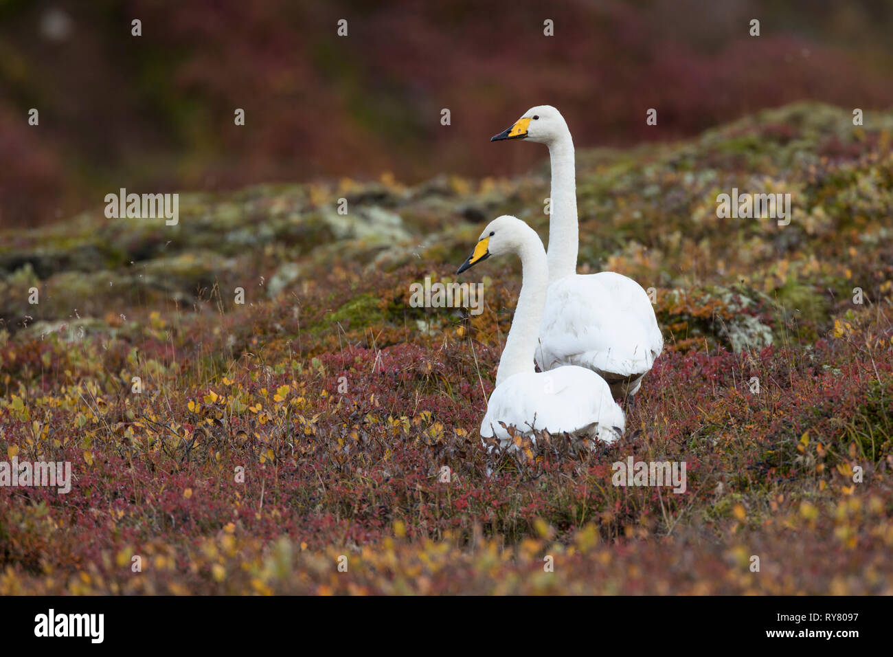 Singschwan, Sing-Schwan, Schwan, Cygnus cygnus, whooper swan, Le cygne chanteur, le cygne sauvage Stock Photo
