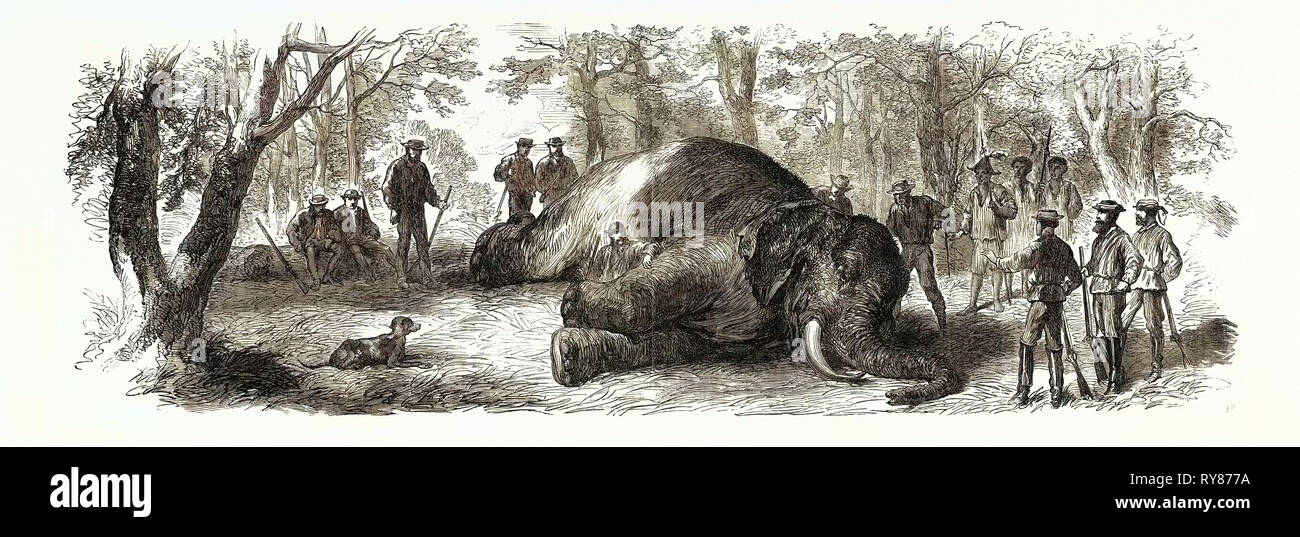 Measuring the Elephant Killed by the Duke of Edinburgh 1867 - Stock Image