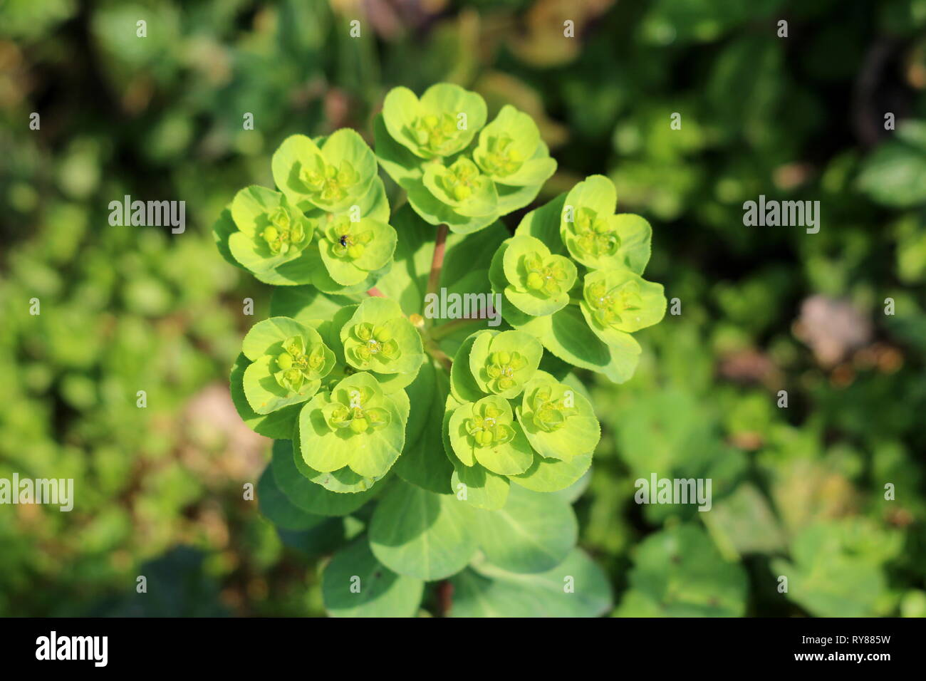 Sun spurge or Euphorbia helioscopia or Wart spurge or Umbrella milkweed or Madwomans milk herbaceous annual flowering plant with oval leaves - Stock Image