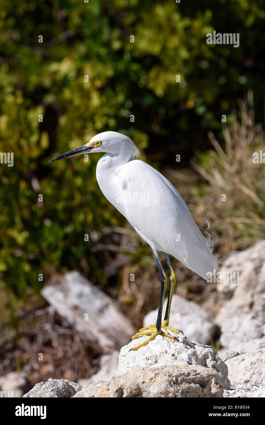 Snowy egret (Egretta thula) in J.N. Ding Darling National Wildlife Refuge, Sanibel Island, Florida, USA - Stock Image