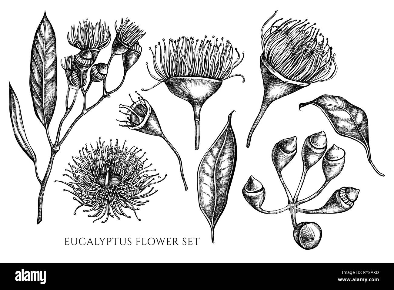 Vector collection of hand drawn black and white eucalyptus flower - Stock Image