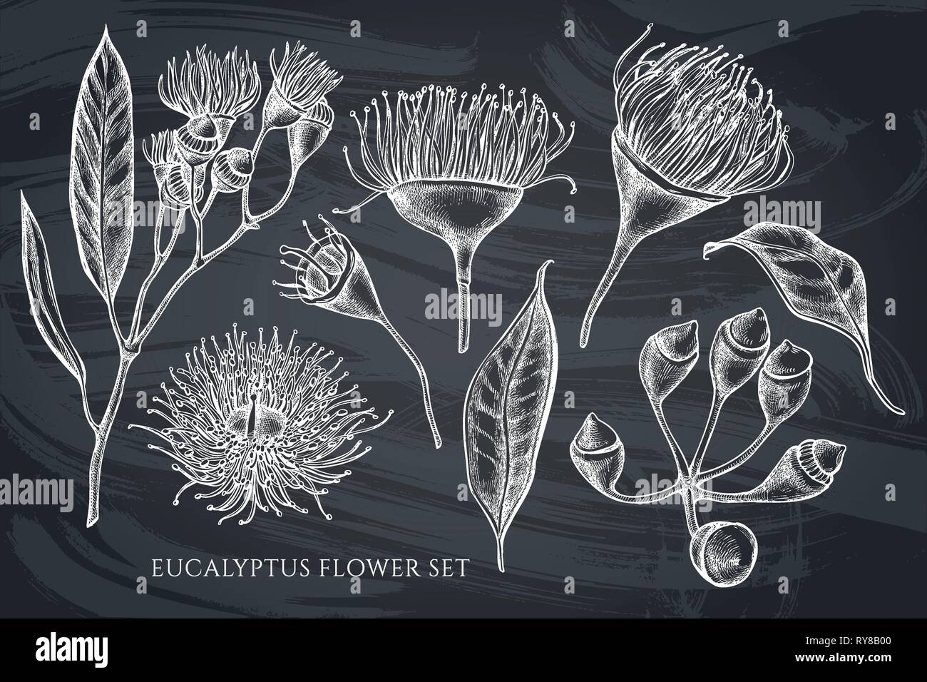 Vector collection of hand drawn chalk eucalyptus flower - Stock Vector