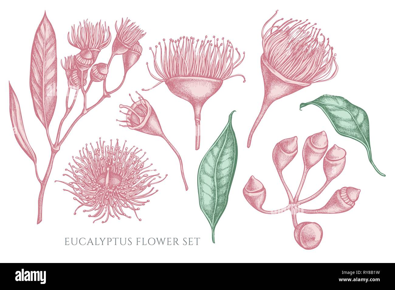 Vector collection of hand drawn pastel eucalyptus flower - Stock Vector
