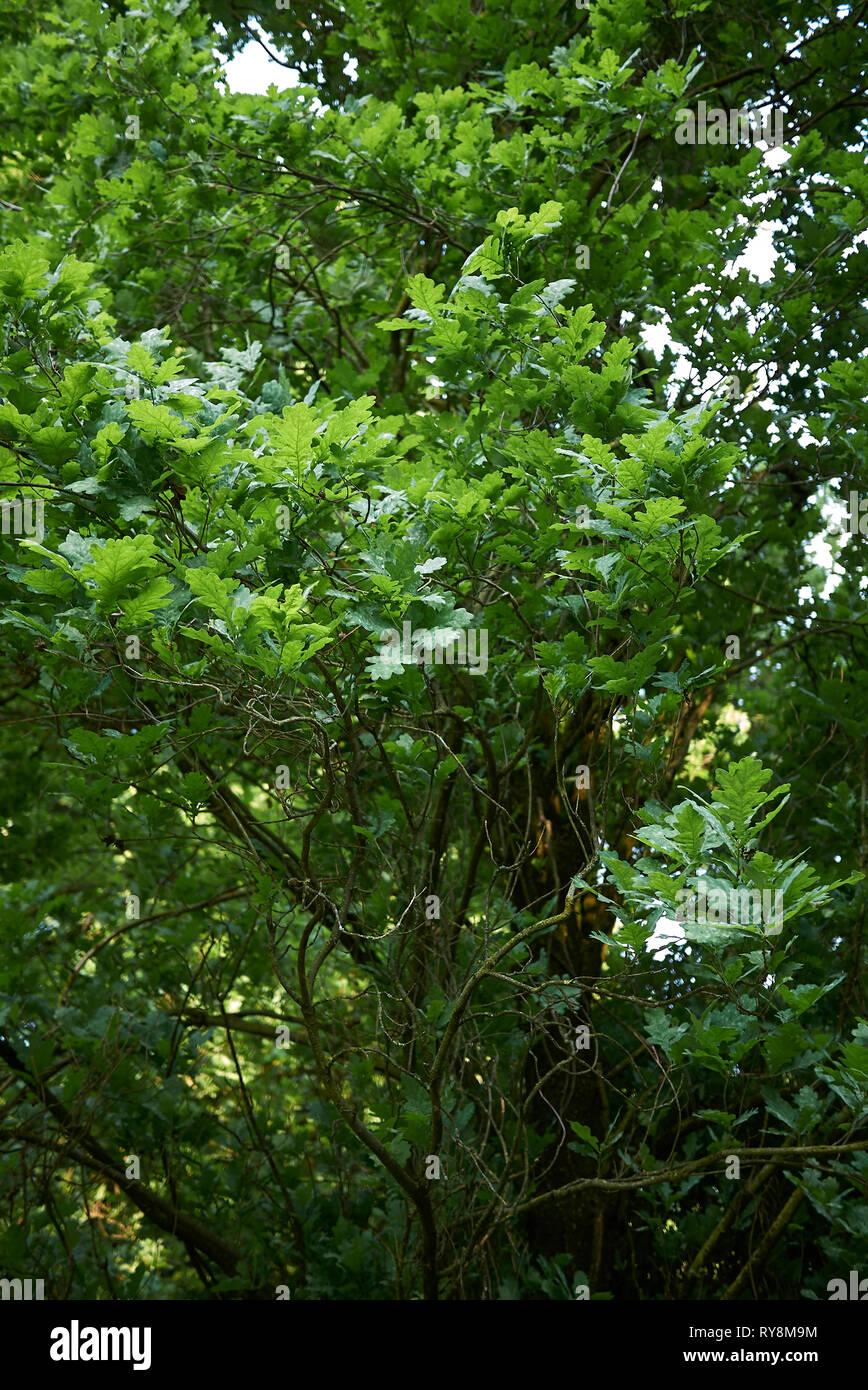 Quercus Robur Fastigiata Stock Photos & Quercus Robur ...