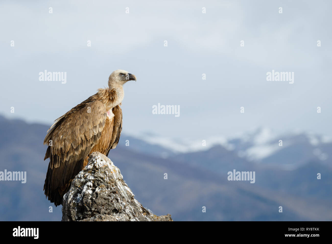 Griffon Vulture (Gyps fulvus), perched on a rock in Aragonese Pyrenees, Aragon, Spain Stock Photo
