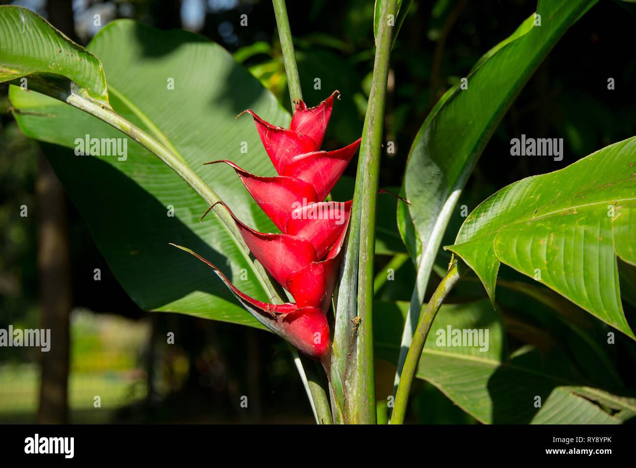 Asia, Sri Lanka, Kandy, Royal Botanic Garden Peradeniya, Heliconia rostrata, hanging lobster claw - Stock Image