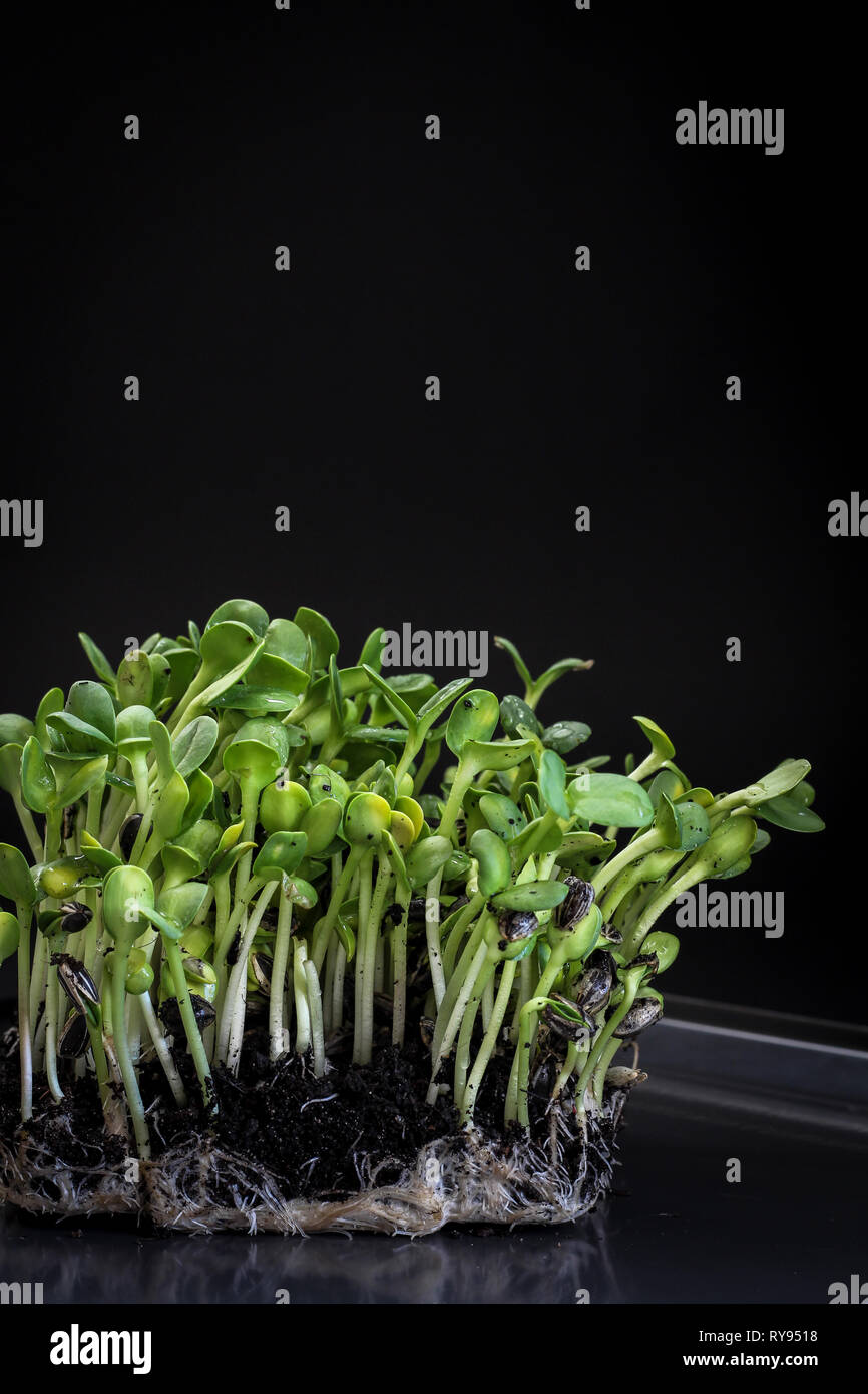 Sunflower micro greens (sprouts) on a dark background as a symbol of spring Stock Photo