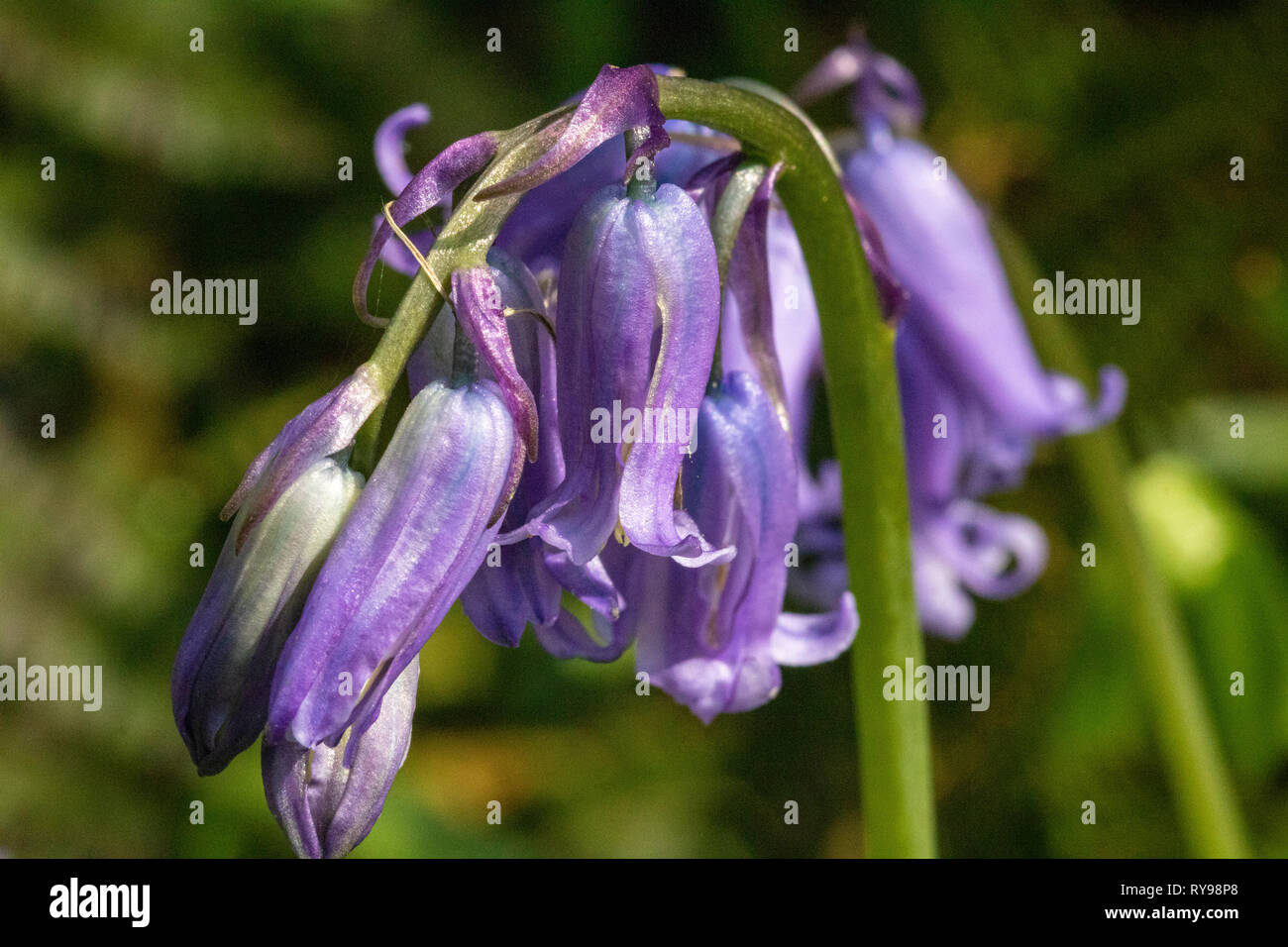 Close up Detail of a Single Bluebell Flower Head (Hyacinthoides non-scripta) Amongst a Large Cluster Growing Beside the River Torridge in North Devon. - Stock Image