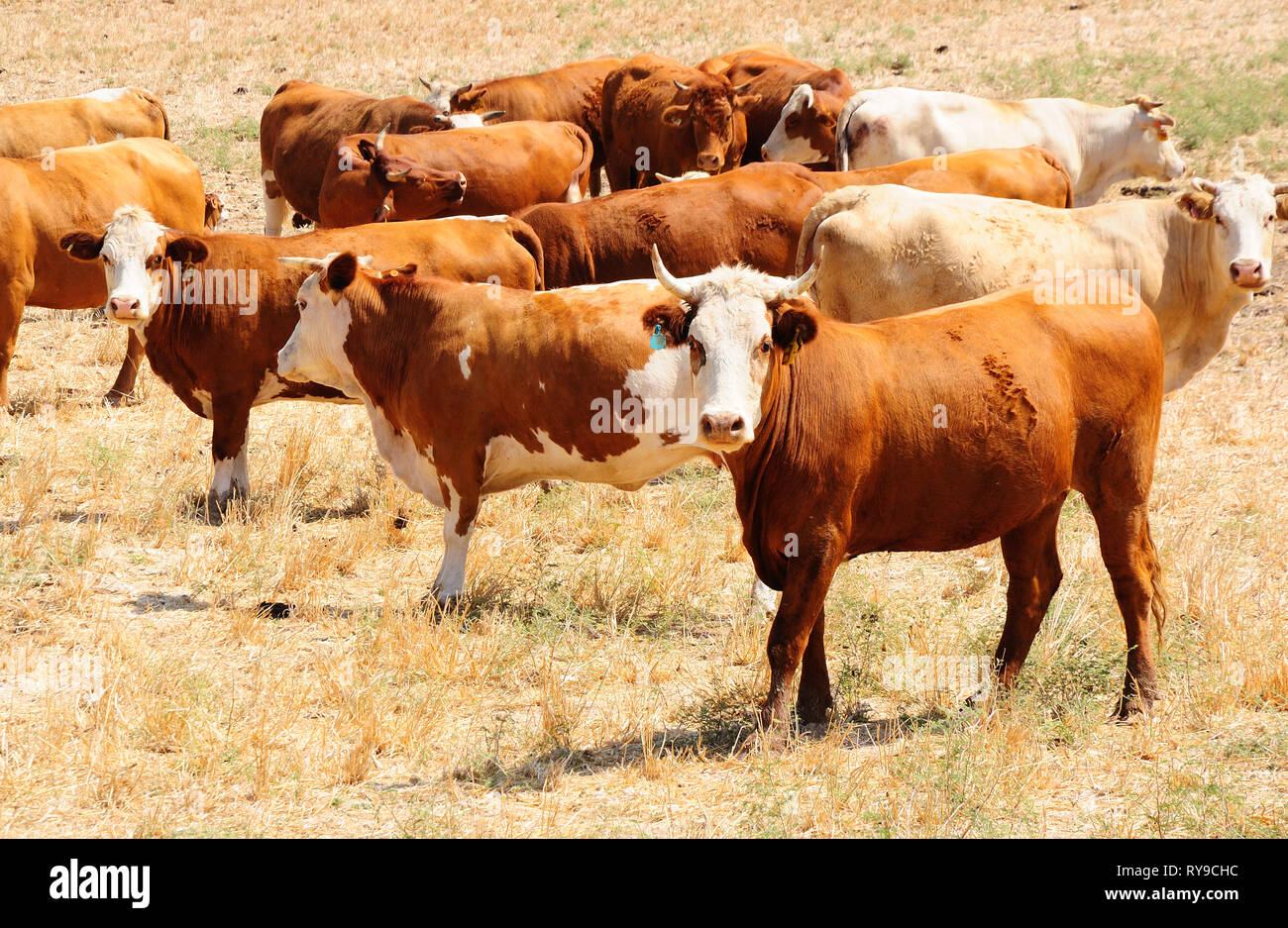 Herd of israeli cows at the pasture-ground - Stock Image